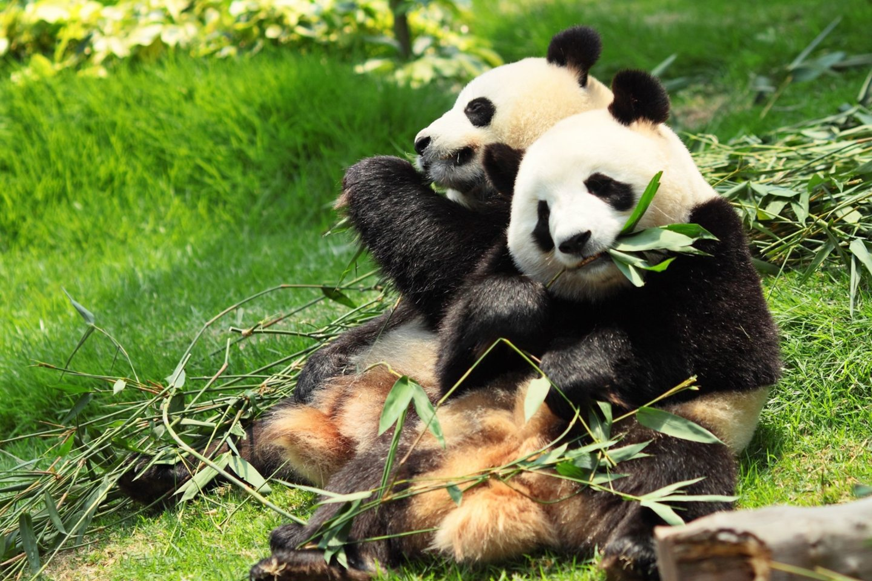"""Tokijo zoologijos sode """"Ueno"""" panda Šin Šin trečiadienį atsivedė du jauniklius.<br>123rf.com asociatyvi nuotr."""