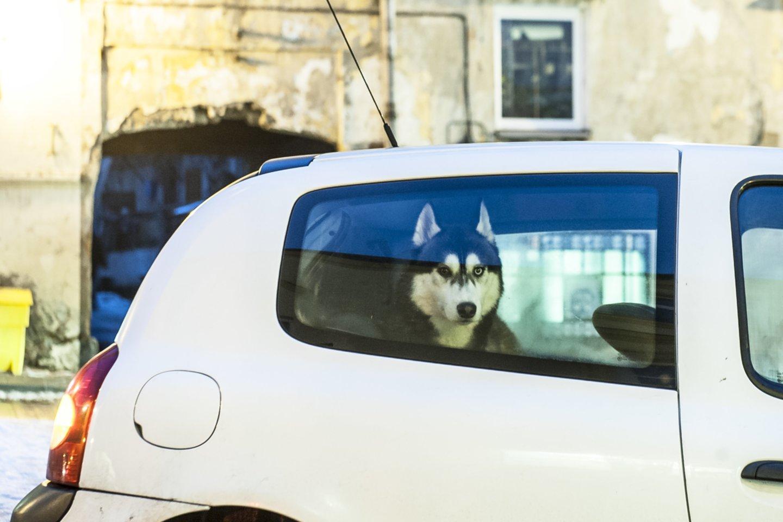 Šuo automobilyje.<br>V.Ščiavinsko asociatyvi nuotr.
