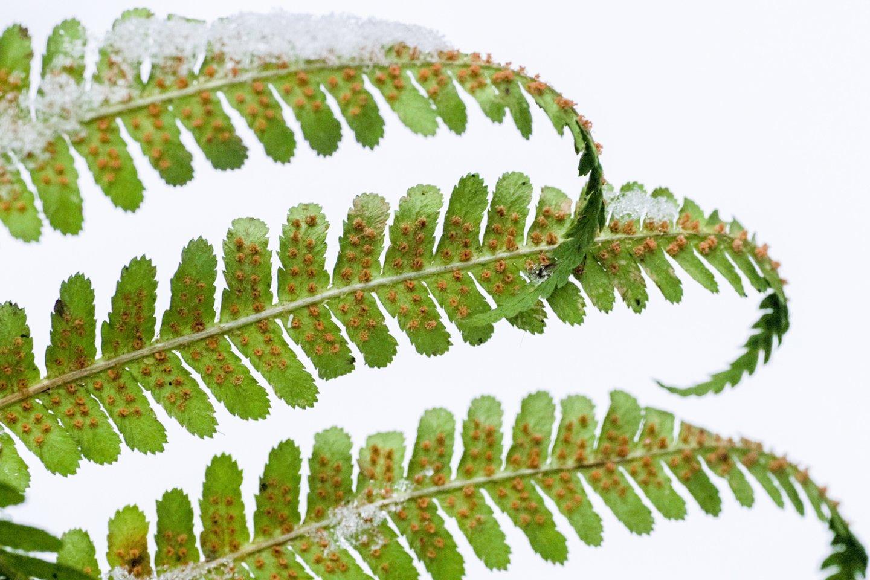 Šiuolaikiniai paparčiai atsirado prieš 145 milijonus metų ir dabar priskaičiuojama jų apie 11 tūkst. rūšių.<br>V.Ščiavinsko nuotr.