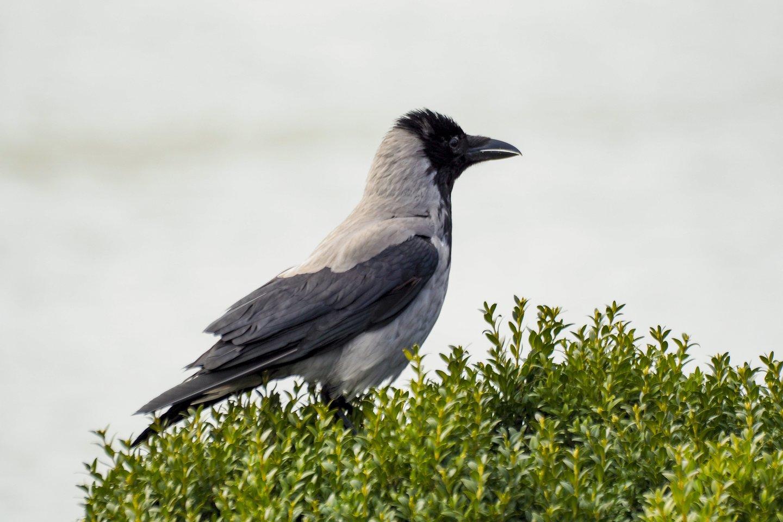 Pasirodo, varnos nepuola – pasak ornitologo Gedimino Petkaus, varnos tik gina ir saugo savo jauniklius nuo potencialios grėsmės.<br>V.Ščiavinsko nuotr.