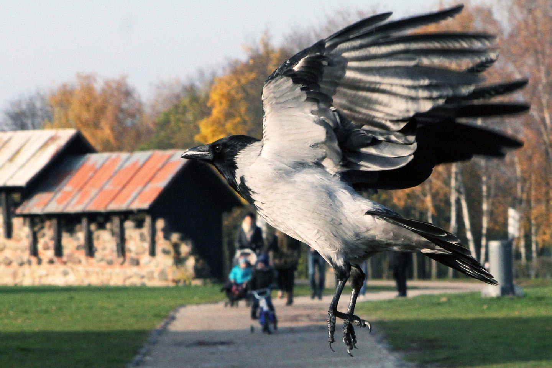 Pasirodo, varnos nepuola – pasak ornitologo Gedimino Petkaus, varnos tik gina ir saugo savo jauniklius nuo potencialios grėsmės.<br>M.Patašiaus nuotr.