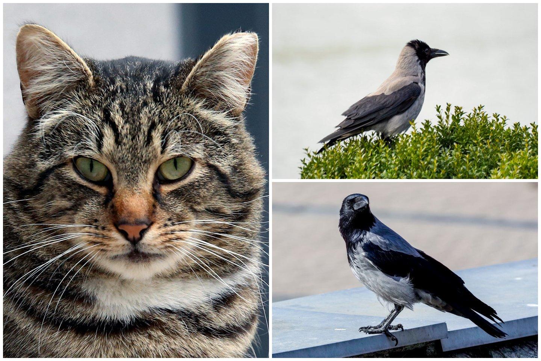 Pasirodo, varnos nepuola – pasak ornitologo Gedimino Petkaus, varnos tik gina ir saugo savo jauniklius nuo potencialios grėsmės.<br>lrytas.lt koliažas.