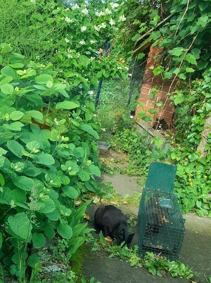 Net ir patyrusiems gyvūnų globos specialistams sunku sugauti sulaukėjusias kates.<br>G.Linkės nuotr.