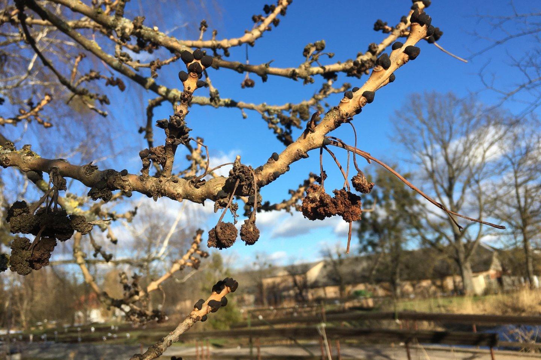 """VDU botanikos sode augančio paprastojo uosio """"Aurea"""" šakelės su žiedų galais.<br>VDU botanikos sodo nuotr."""