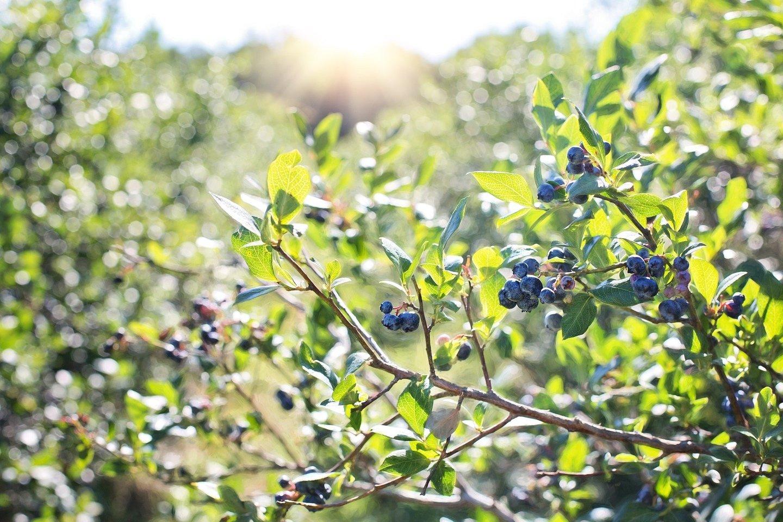 Pirmąsias prisirpusias šilauoges jau skinantys Lietuvos ūkininkai sako, kad pavasaris buvo geras, tad ir šiųmetis derlius nenuvilia.