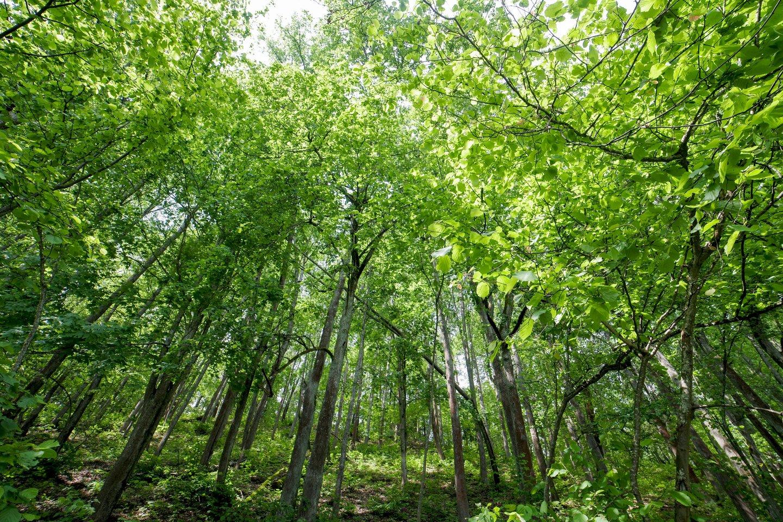 Europos Sąjunga patvirtino naują bendrą miškų strategiją iki 2030 metų, kurioje numatyta įgyvendinti griežtą senųjų miškų apsaugą, pasodinti 3 mlrd. naujų medžių bei skatinti kur įmanoma atsisakyti plynųjų kirtimų.<br>V.Ščiavinsko nuotr.