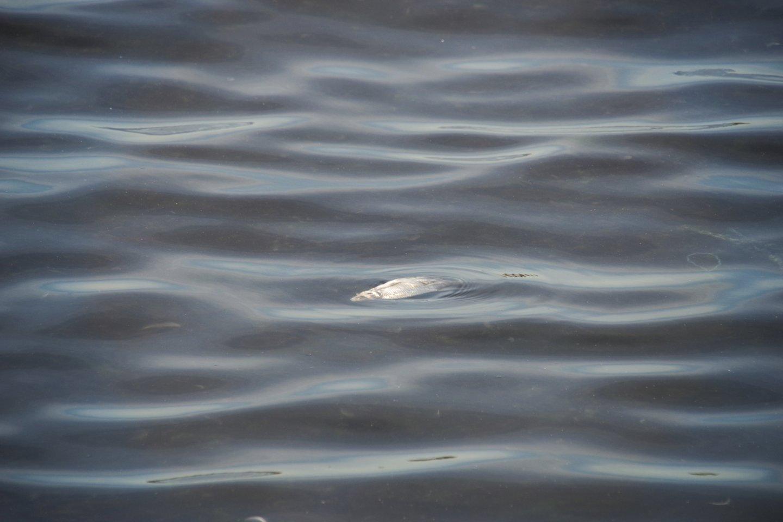 Pranešta apie prie Šventosios dvesiančias žuvis.<br>V.Ščiavinsko asociatyvi nuotr.