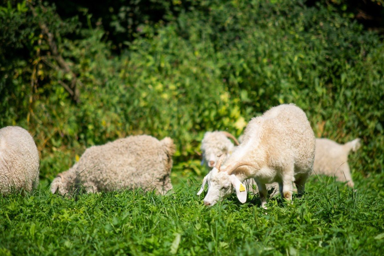 Ožkų auginimas, verpimas ir audimas – hobis, kuriam skiriama išties daugiau laiko nei įprastam laisvalaikiui.<br>R.Ančerevičiaus nuotr.