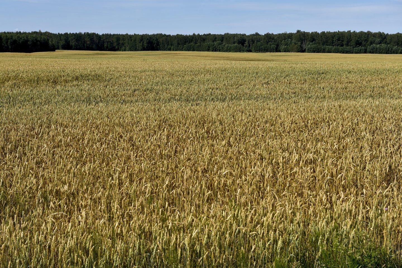 Glifosato veikliosios medžiagos turinčius herbicidus prieš derliaus dorojimą leidžiama naudoti tik piktžolėtuose pasėliuose ir ne vėliau kaip likus 10–14 kalendorinių dienų iki pjūties.<br>V.Ščiavinsko nuotr.