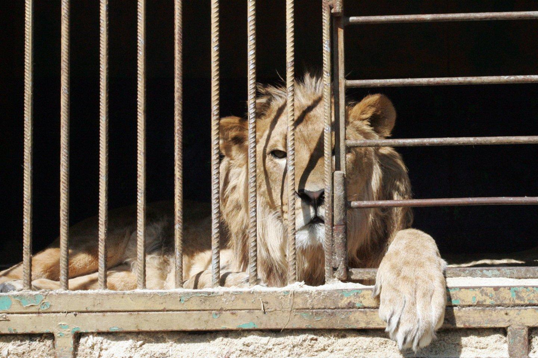 Liūtas nelaisvėje.<br>P.Mantauto nuotr.