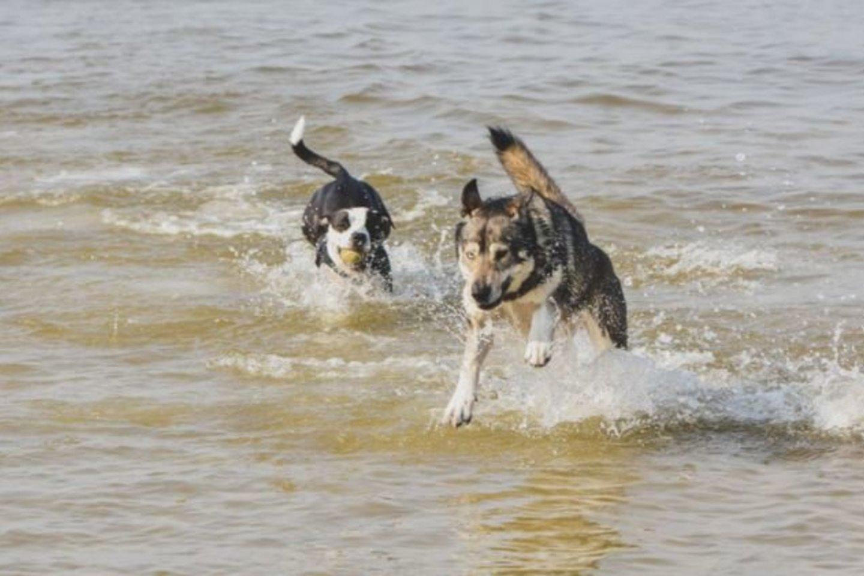 SVEIKATA. Pasak Sveikatos mokymo ir ligų prevencijos centro specialistų, šunų maudynės jūroje nekenkia žmonių sveikatai.<br>V.Kesminės nuotr.