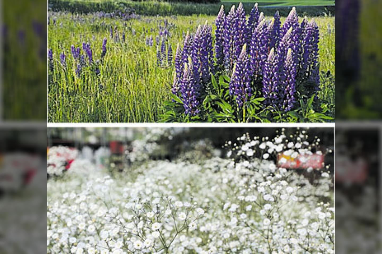 """Gausialapis lubinas ir muilinė guboja – tik dalis kažkada daugintų ir puoselėtų augalų, kurie pateko į Invazinių rūšių sąrašą Lietuvoje. Dabar rekomenduojama juos naikinti, skinant žydėjimo laiku, kad augalai nespėtų subrandinti sėklų ir dar labiau išplisti.<br>""""Pajūrio naujienų"""" nuotr."""