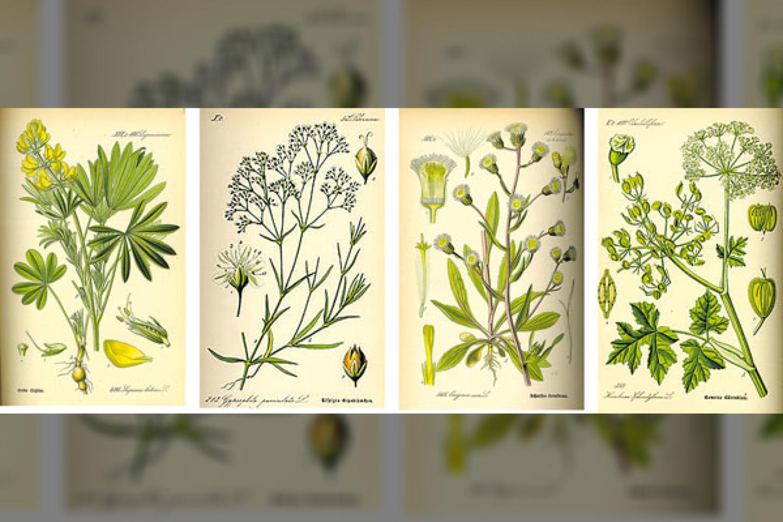 """Invaziniai augalai: (iš kairės) lubinas, muilinė guboja, šiušelė Sosnovskio barštis<br>""""Pajūrio naujienų"""" nuotr."""
