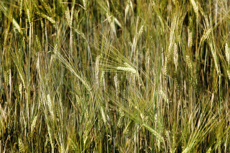 Grūdų derlius Baltarusijoje šiais metais dėl kaitros veikiausiai bus kiek kuklesnis už pernykštį, prognozuoja šios šalies vyriausybė.<br>V.Balkūno nuotr.