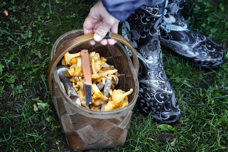 Rytinę ir centrinę Europą alinanti sausra verčia trauktis Lietuvos grybų perdirbėjų verslą. Kai kurie grybų perdirbėja įspėja, kad voveraitės šiemet bus kaip niekada brangios.<br>V.Balkūno nuotr.