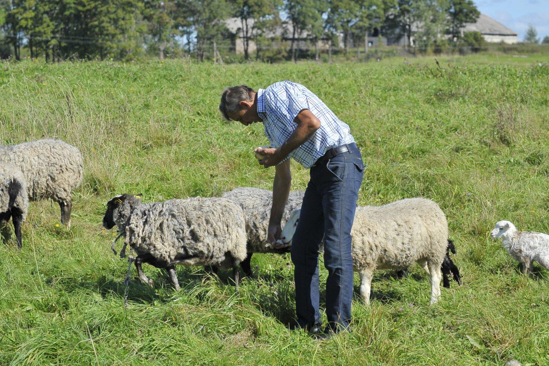 Jau kelerius metus iš eilės plėšrūnai retina ūkininko bandą. Vien pernai jų grobiu tapo apie 60 gyvulių.<br>V.Ščiavinsko asociatyvi nuotr.