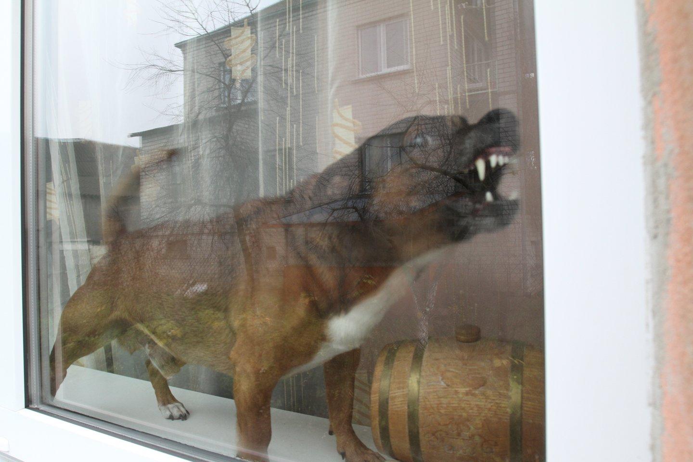 Piktas šuo.<br>M.Patašiaus asociatyvi nuotr.