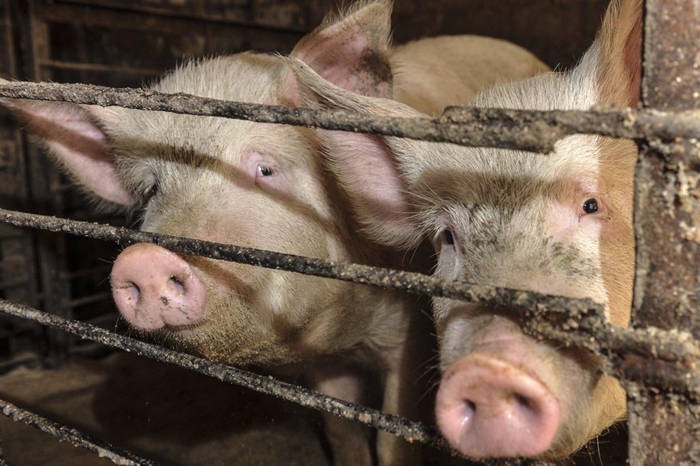 Afrikinio kiaulių maro (AKM) protrūkių ūkiuose kaimyninėse valstybėse daugėja.<br>V.Ščiavinsko nuotr.