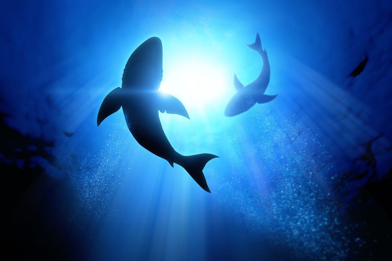 Mažai žinoma apie didžiąją dalį šių ryklių gyvenimo dalį – o ypač jų poravimąsi.<br>123rf iliustr.