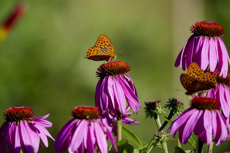 Danguolės gėlės,drugeliai,orai<br>V.Ščiavinsko nuotr.