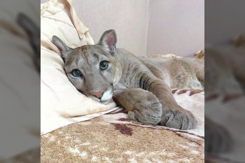 Pumai tekusi migdomųjų vaistų dozė buvo per didelė – gyvūnas nugaišo.