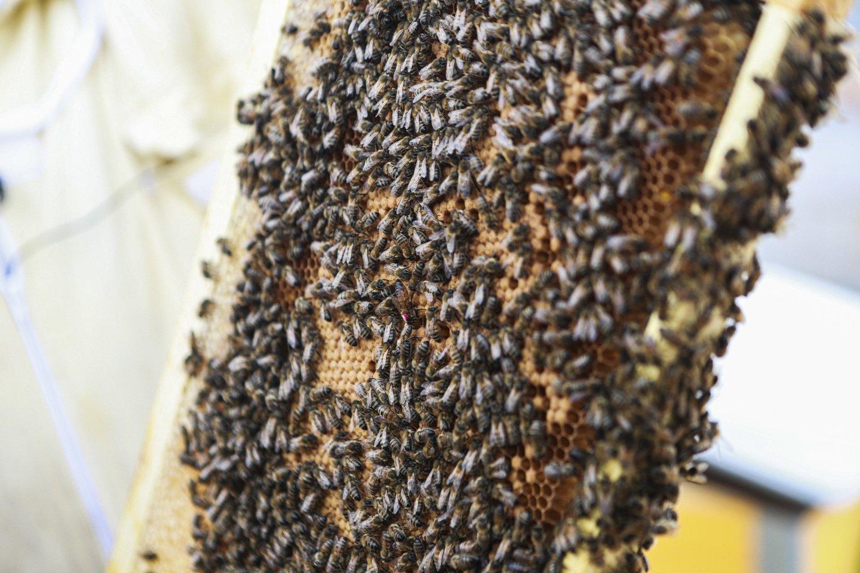 Medaus supirkėjai irgi pritaria – laukiama rekordinio derliaus.<br>G.Bitvinsko nuotr.