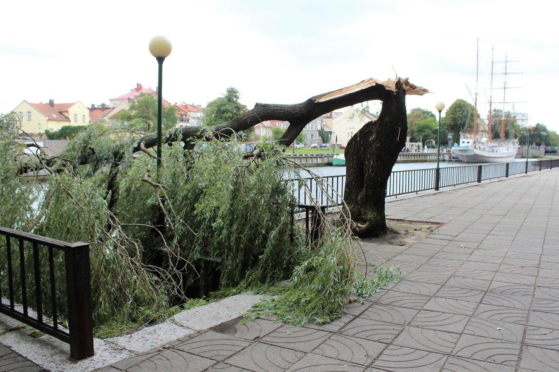 Kai kurie seni medžiai išties kelia grėsmę.<br>G.Pilaičio nuotr.
