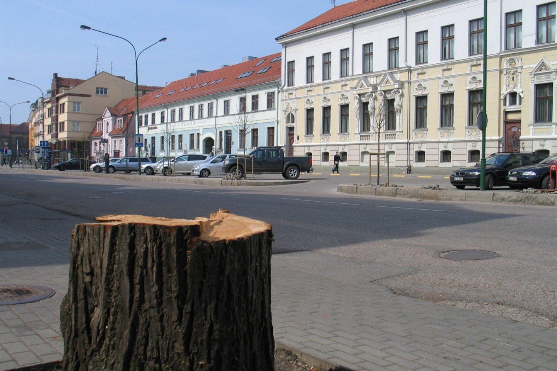 Seni medžiai virsta savivaldybės pastato pašonėje.<br>G.Pilaičio nuotr.