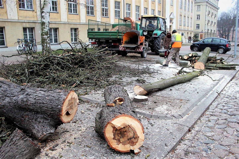 Seni medžiai uoliai naikinami ir gatvėse.<br>G.Pilaičio nuotr.