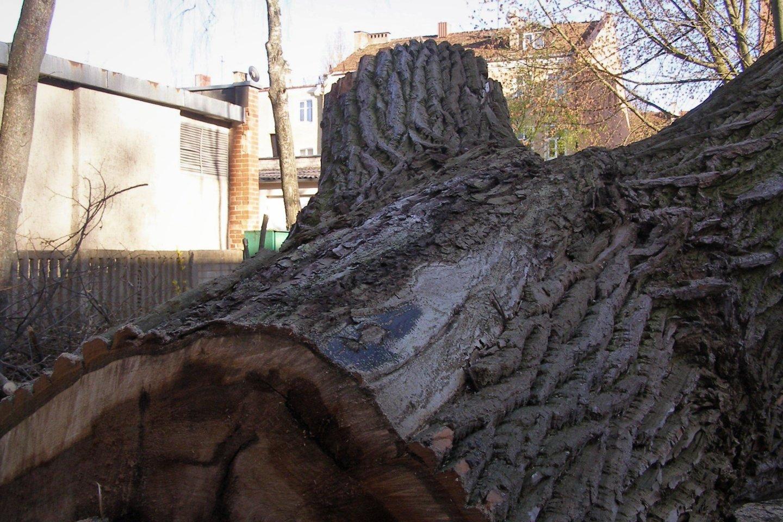 Paguldomi ir tokie medžiai.<br>G.Pilaičio nuotr.