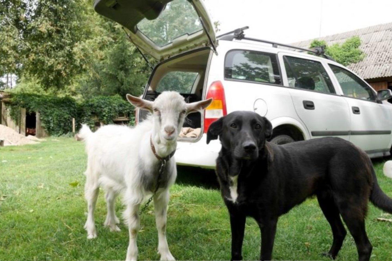 Kai ūkininkai darbuojasi laukuose, jų namus saugo ištikimi gyvūnai: ožys tuojau pat iššoka iš mašinos, o kalaitė atvykėliams snukiu baksnoja į kojas.<br>A.Švelnos nuotr.