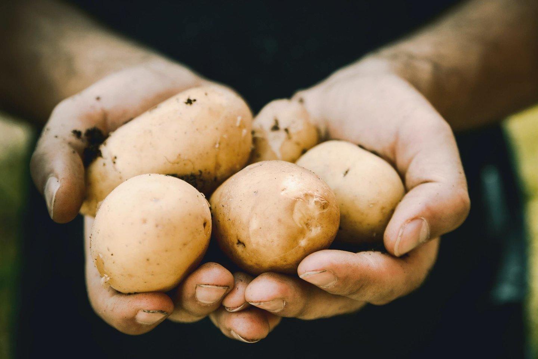 Lietuvoje bulvės – vienos universaliausių ir labiausiai mėgstamų daržovių, o patiekalų su jomis tradicinėje virtuvėje ypač gausu.
