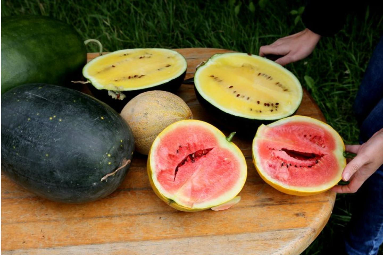 V.Rakauskaitės-Žukienės auginamų arbūzų minkštimas ir rausvas, ir geltonas.<br>A.Švelnos nuotr.