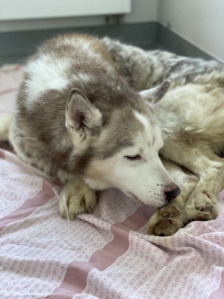 """Šuo buvo vangus, išsekęs, apleistas, dehidratavęs, nepastovėjo ant letenų, viduriavo.<br>Prieglaudos """"Nojus"""" nuotr."""