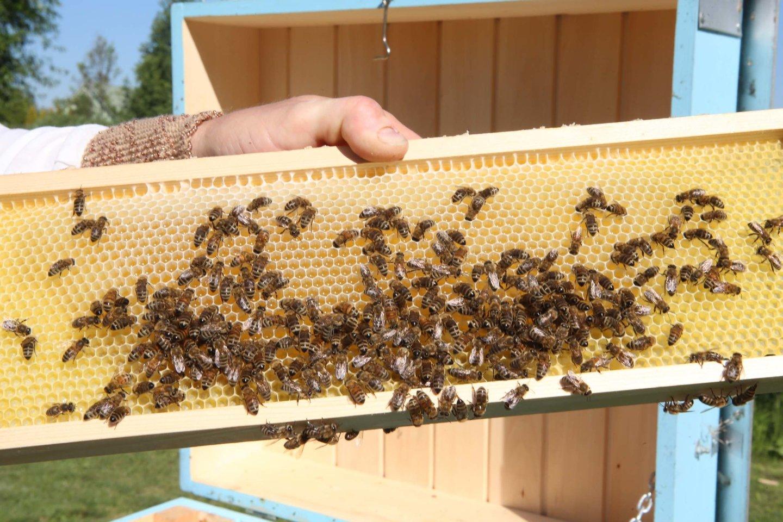 Parama teikiama siekiant bičių laikytojams iš dalies atlyginti išlaidas, tiesiogiai susijusias su papildomu bičių maitinimu, kai įsigyjamas įprastinis, ekologiškas cukrus arba invertuotojo cukraus sirupas.<br>M.Patašiaus nuotr.