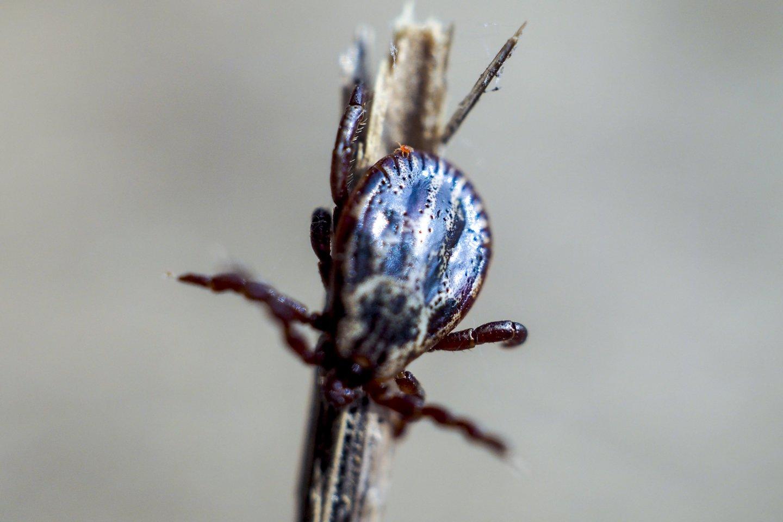 Specialistė sako, kad jei jau auga grybai, tai reiškia, kad miškuose drėgmės pakanka ir erkių išgyvenimui.<br>V.Ščiavinsko nuotr.
