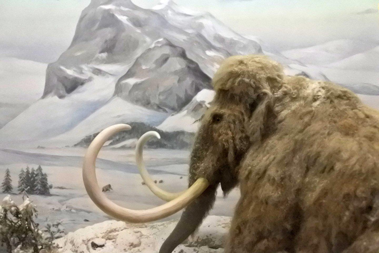 Genetikai, vadovaujami Harvardo medicinos mokyklos mokslininko George'o Churcho, siekia į gyvenimą sugrąžinti gauruotąjį mamutą, gyvenusį prieš 4000 metų.<br>123rf iliustr.