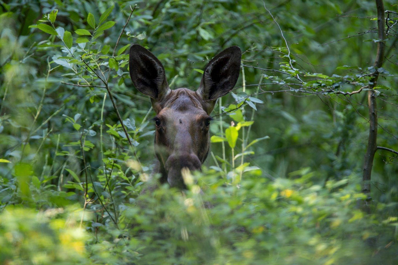 """Intensyviausiu tauriųjų elnių ir briedžių rujos metu stiprindamas šių žvėrių apsaugą, Aplinkos apsaugos departamentas nuo rugsėjo 15 d. iki spalio 15 d. organizuoja akciją """"Medžioklė"""".<br>V.Ščiavinsko nuotr."""