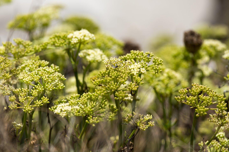 Efedra, dar vadinama bandaku arba omanu, yra daugiametė žolė, lengvai surenkama nuo Afganistano kalvų.<br>Maurizio Biso/Scanpix nuotr.