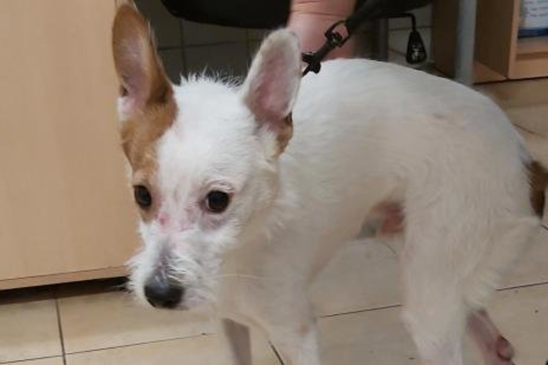 Savo šeimininkų skriaustam ir sumuštam šuniui buvo reikalinga skubi pagalba, jam grėsė žūtis.<br>VMVT nuotr.
