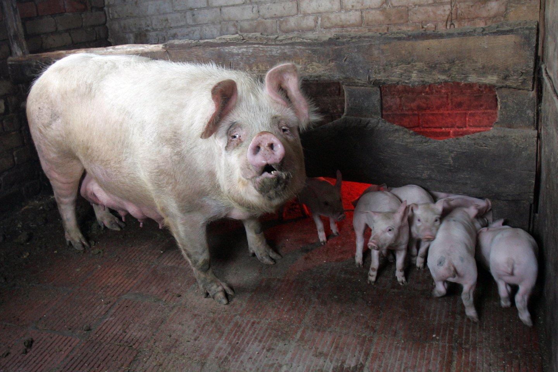 K.Navickas ieškos pagalbos kiaulininkystės sektoriui.<br>V.Balkūno nuotr.