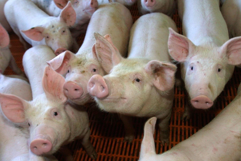 K.Navickas ieškos pagalbos kiaulininkystės sektoriui.<br>P.Lileikio nuotr.