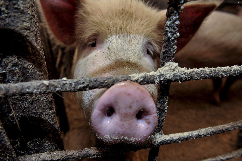 K.Navickas ieškos pagalbos kiaulininkystės sektoriui.<br>V.Ščiavinsko nuotr.