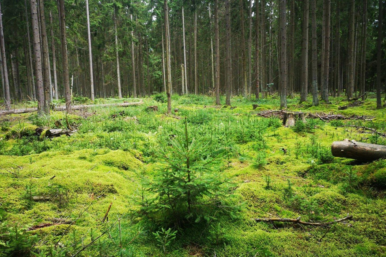 """Savaiminis eglės atsikūrimas – FSC sertifikato reikalavimai skatina kuo didesnį savaiminį miško atsikūrimą, kad naujos girios būtų kuo natūralesnės.<br>""""Darnūs miškai"""" nuotr."""