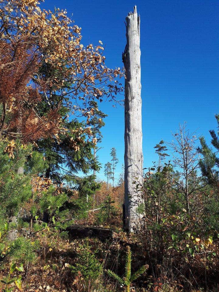 """Vienas FSC sertifikato reikalavimų – kertant mišką palikti daugiau sausuolių, kurie reikalingi biologinei įvairovei palaikyti.<br>""""Darnūs miškai"""" nuotr."""