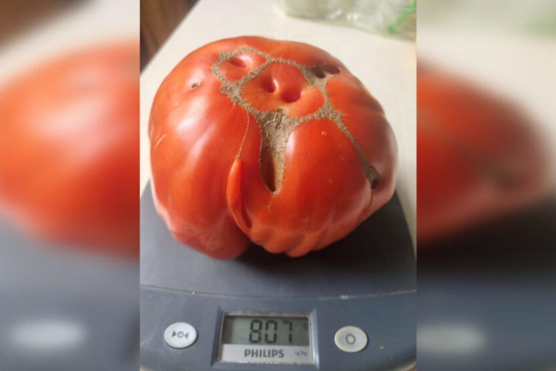 Vieno pomidoro svoris siekia daugiau nei 800 gramų. Kur tai matyta – beveik kilograminis pomidoras!<br>Asmeninio archyvo nuotr.
