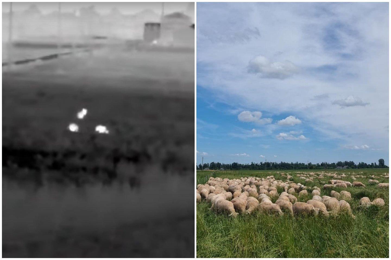 Ūkininkai 600 avių priversti kas vakarą suvaryti į tvartą.<br>lrytas.lt koliažas.