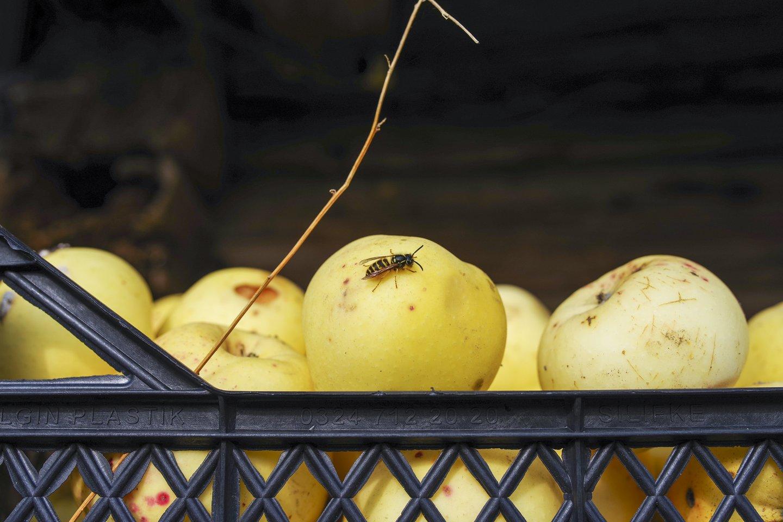 Dabar, kai ruduo barsto auksinius lapus, jis mums žeria ir gražų lietuviškų obuolių derlių.<br>V.Ščiavinsko nuotr.